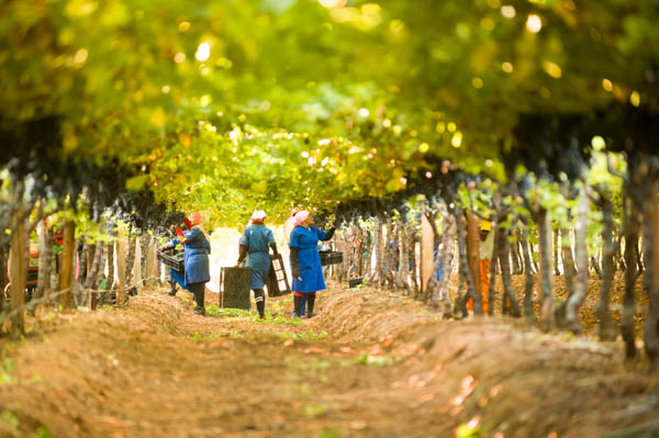 Workers picking grapes